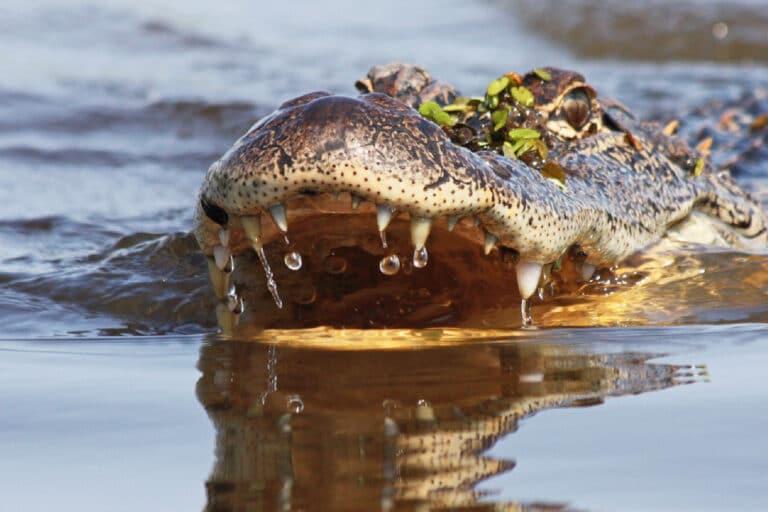alligators versus crocodiles Cajun Encounters
