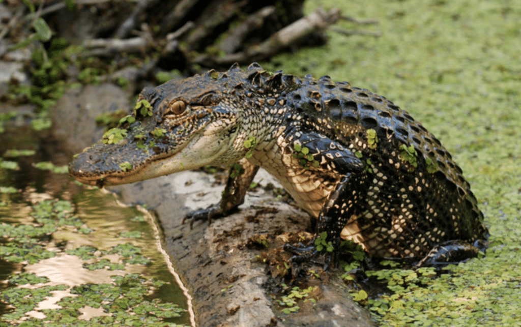 alligators-versus-crocodiles