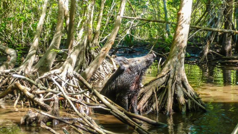 invasive species Cajun Encounters