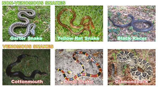 venomous snakes Cajun Encounters