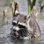 raccoons Cajun Encounters